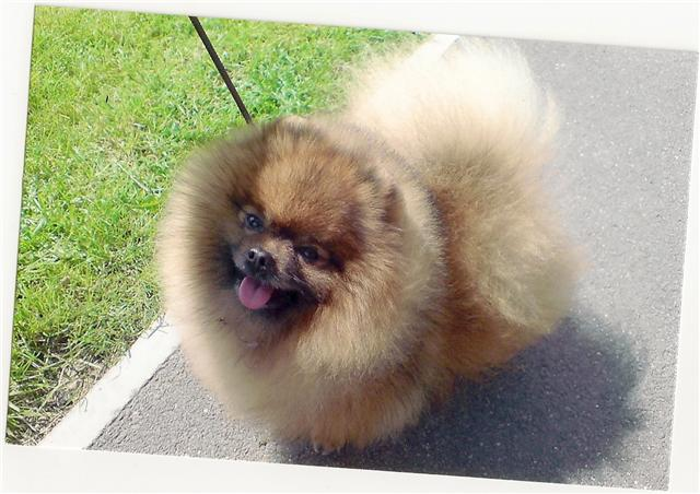 breed standard manatek reta pomeranians dog breeds picture