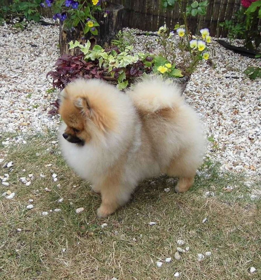 How much is the Pomeranian Spitz in Russia
